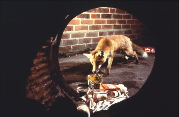 Photograph of a fox through the bottom of a dustbin