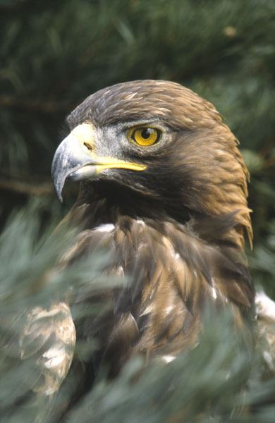 portrait of the Golden Eagle