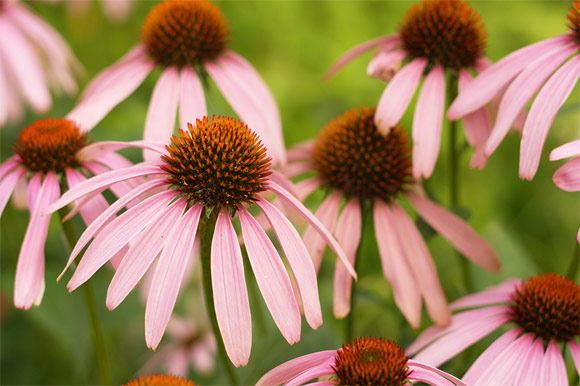 Coneflowers by Aussiegall ©