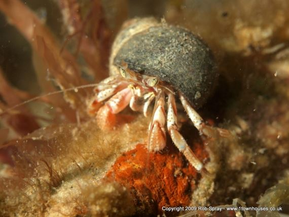 Hermit crabs are ornate little gladiators, always looking for a new shell