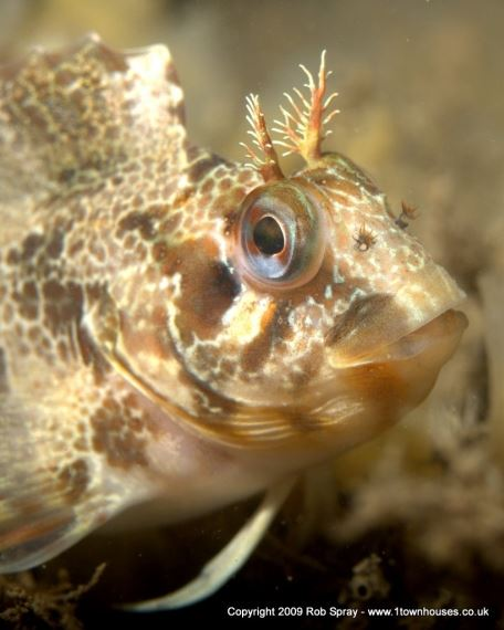 Tompot Blenny - fish portraits benefit from shallow depth of field