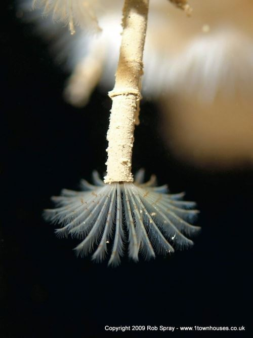 Limited depth of field showcases individual animals - Peacock Fanworm, Norfolk