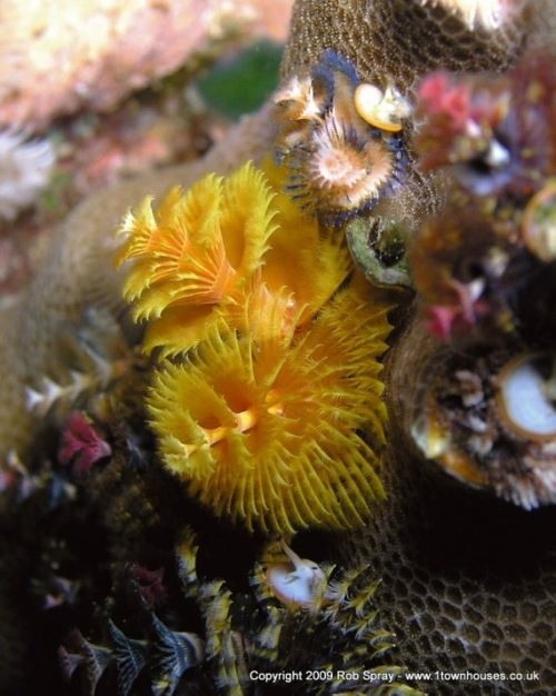 Under strobe light colour macro balance shouldnt be a problem Christmas Tree worms Indonesia