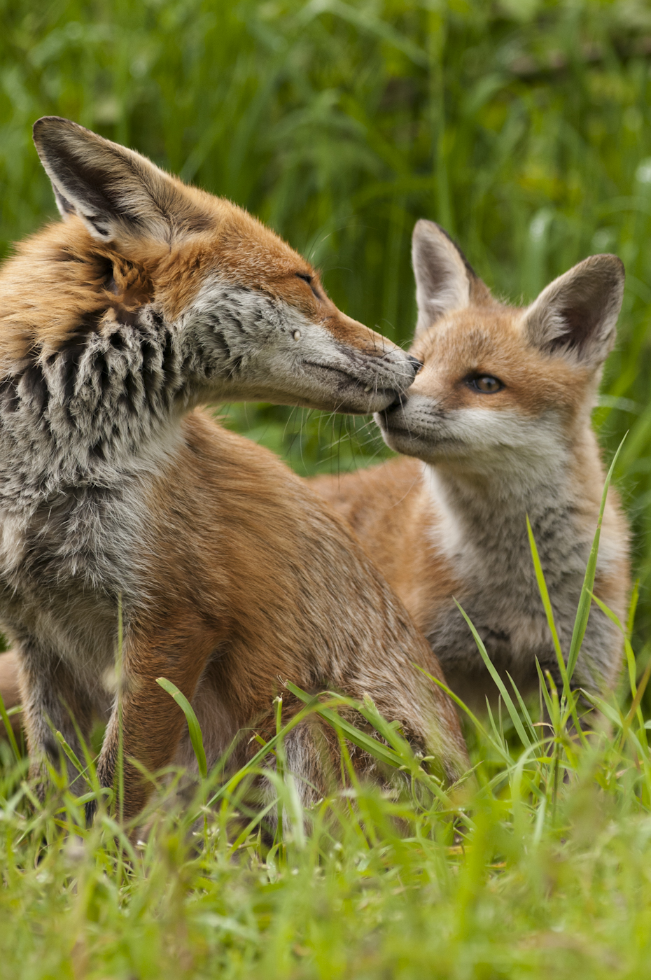 Fox Vixen greeting cub on her return to the den
