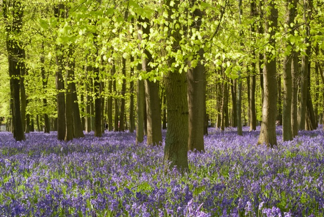 bluebells.jpeg