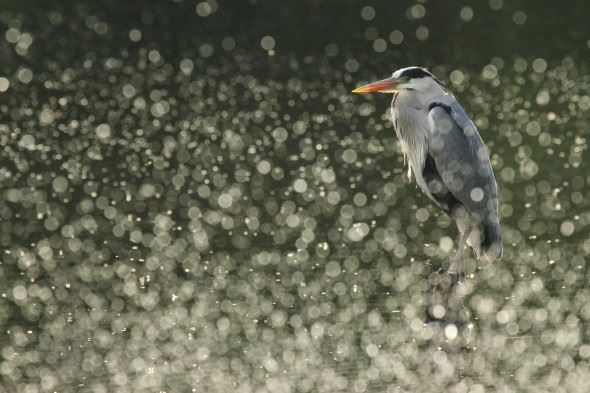YPA 2013 overall winner: 'Bokeh Heron' by Danielle Connor
