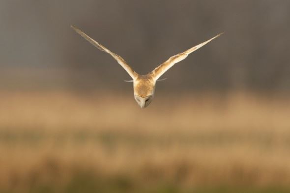 How to photograph barn owls