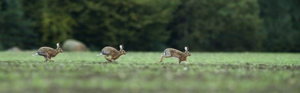Using a tripod and having a static potion I wanted to create a sequence image of a hare running (this is three images stiched together)