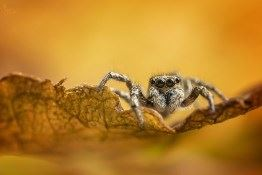 Behind the Image: Zebra Jumping Spider, by Matt Doogue