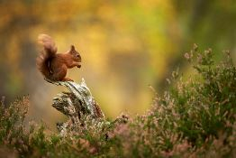 Photographing red squirrels in autumn | Top tips for unforgettable shots