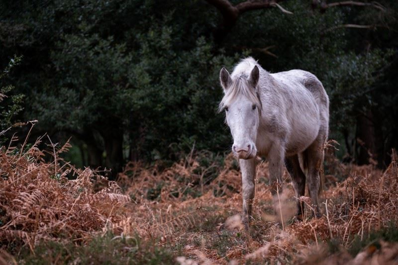 Fuji XT4 sample image of a white horse walking through bracken