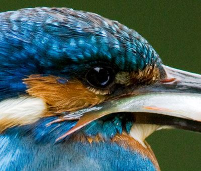 Kingfisher taken with Canon EOS 1D Mk III ISO 1600