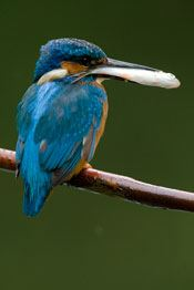 Kingfisher at ISO1600 on the 1D Mk III